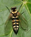 Ornate Snipe Fly - Chrysopilus ornatus (female)