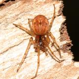 Thick-jawed Orb Weaver - Pachygnatha brevis