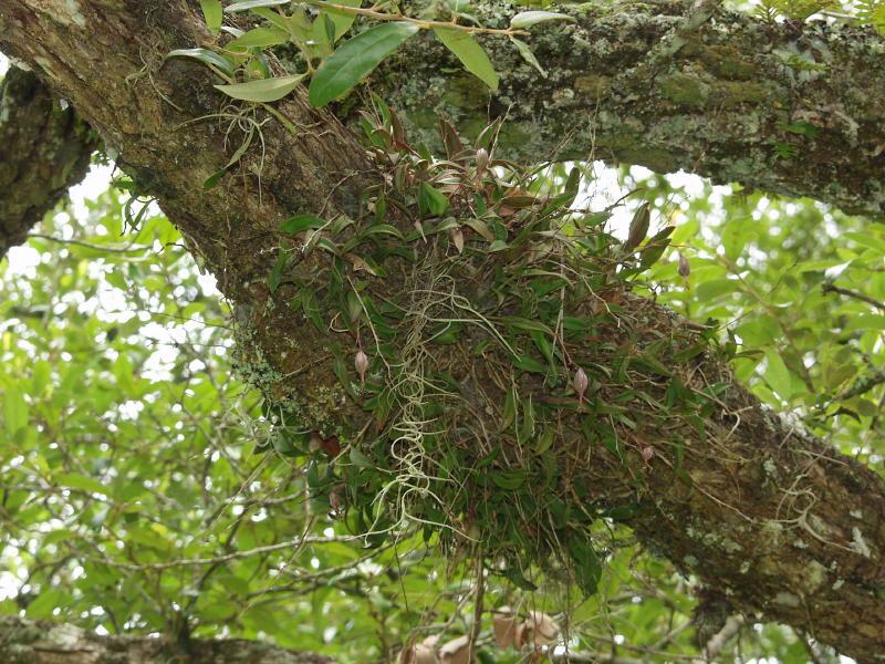 Epidendrum magnoliae with seed capsules