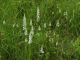 Gymnadeniopsis nivea group