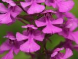 Platanthera peramoena - another closeup