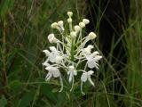Platanthera blephariglottis var. conspicua