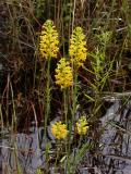 Platanthera cristata group (after heavy rain)