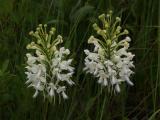 Platanthera blephariglottis var. conspicua pair