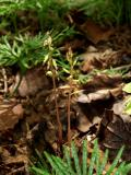 Corallorhiza odontorhiza
