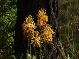 Platanthera ciliaris group (very late bloomers)