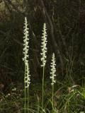 Spiranthes odorata group (inflorescences are 6 tall)