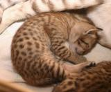 Kitten from S*Milwaukee's, OCI n24