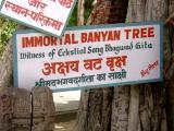 The Immortal Banyan Tree at the stalam of Geethopadeasm.JPG