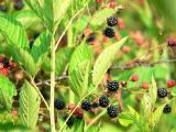 blackberry patch