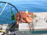 Sea star, a fisherman's bane