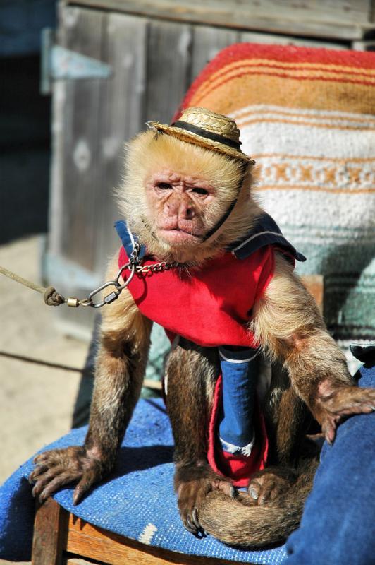 Trained monkey on Fishermans Wharf, Monterey