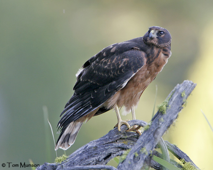 Northern Harrier (juv)