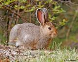 Snowshoe Hare