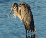 Great Blue Heron (closeup)_8532Cr2Ps`0509170738.jpg