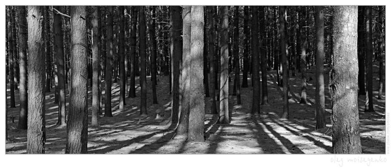 Barcode of Pine Forest (500Kb)
