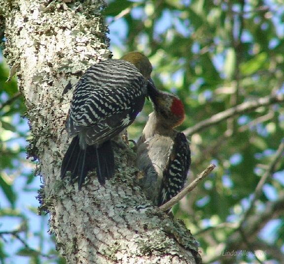 adult male feeding juvie female