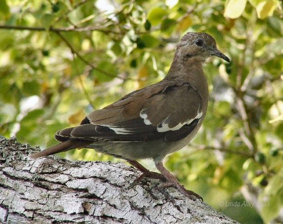 white-winged dove juvie