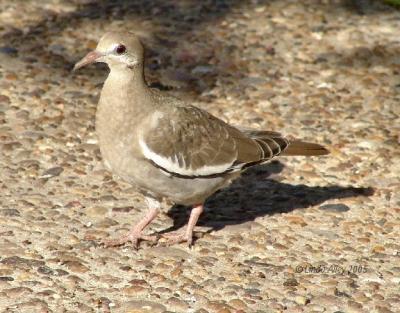 white winged dove juvie