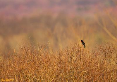 Blackbird Studying the Landscape