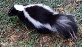 skunk small file DSCF0045.JPG