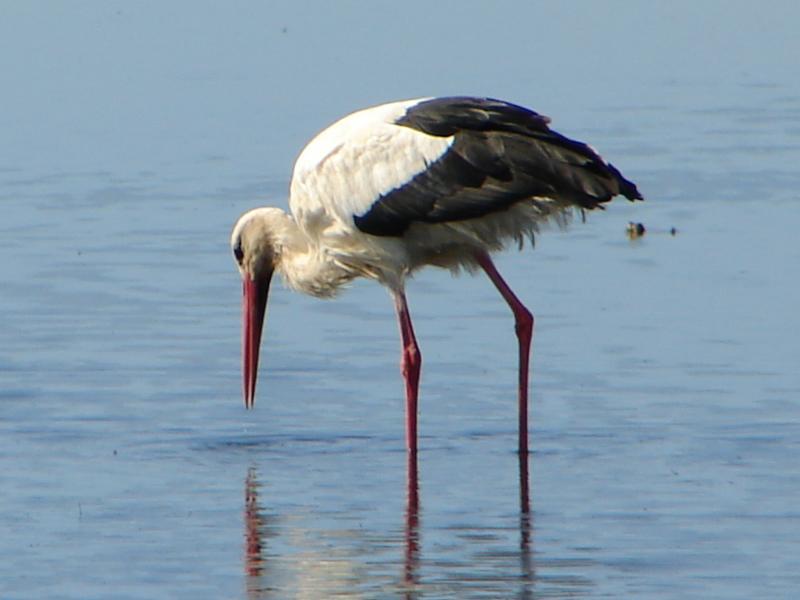 Cegonha-branca // White Stork (Ciconia ciconia)