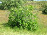 Figueira /|\ Fig Tree (Ficus carica)