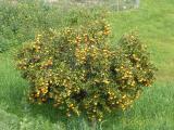Laranjeira /|\ Orange Tree