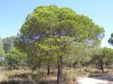 Pinheiro-manso (Pinus pinea) /|\ Umbrella Pine