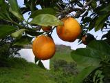 Laranjas (Citrus sinensis) /|\ Oranges