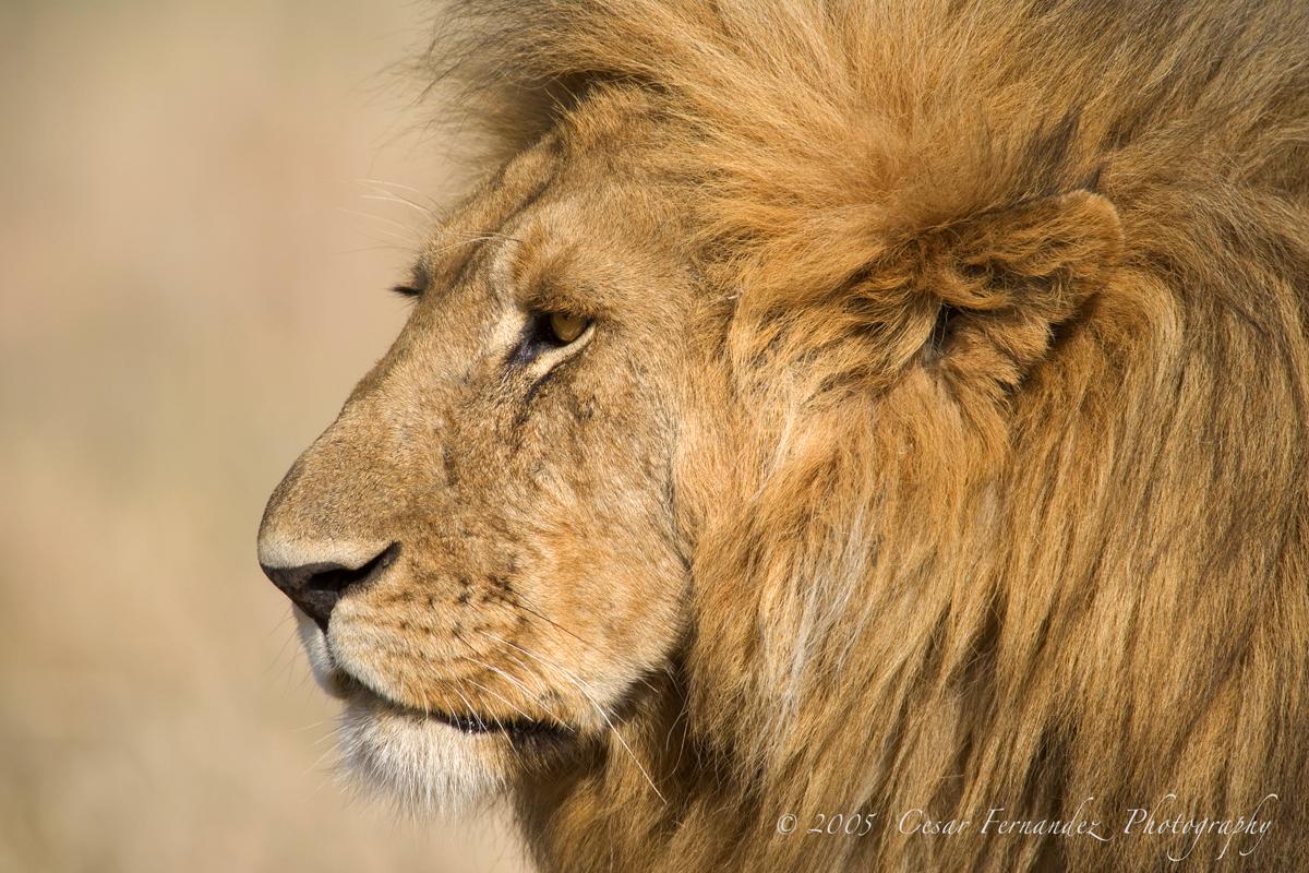 Adult male Lion. Panthera Leo