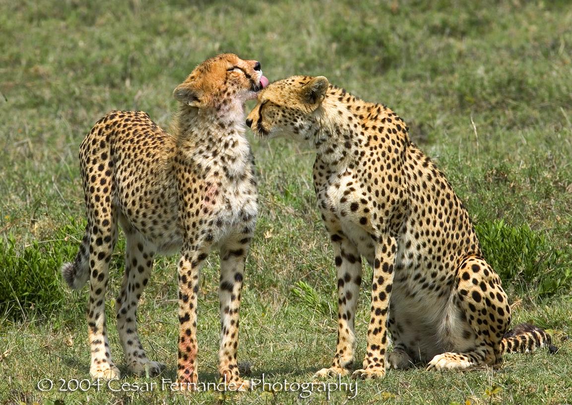 Cheeta cub grooming his mother after a meal. Acynonyx Jubatus.jpg