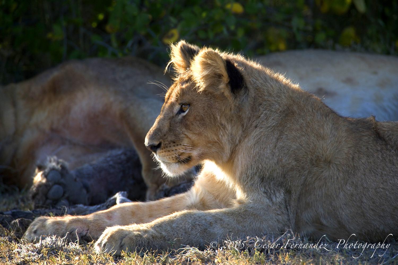 Lions Cub - Panthera leo v.jpg