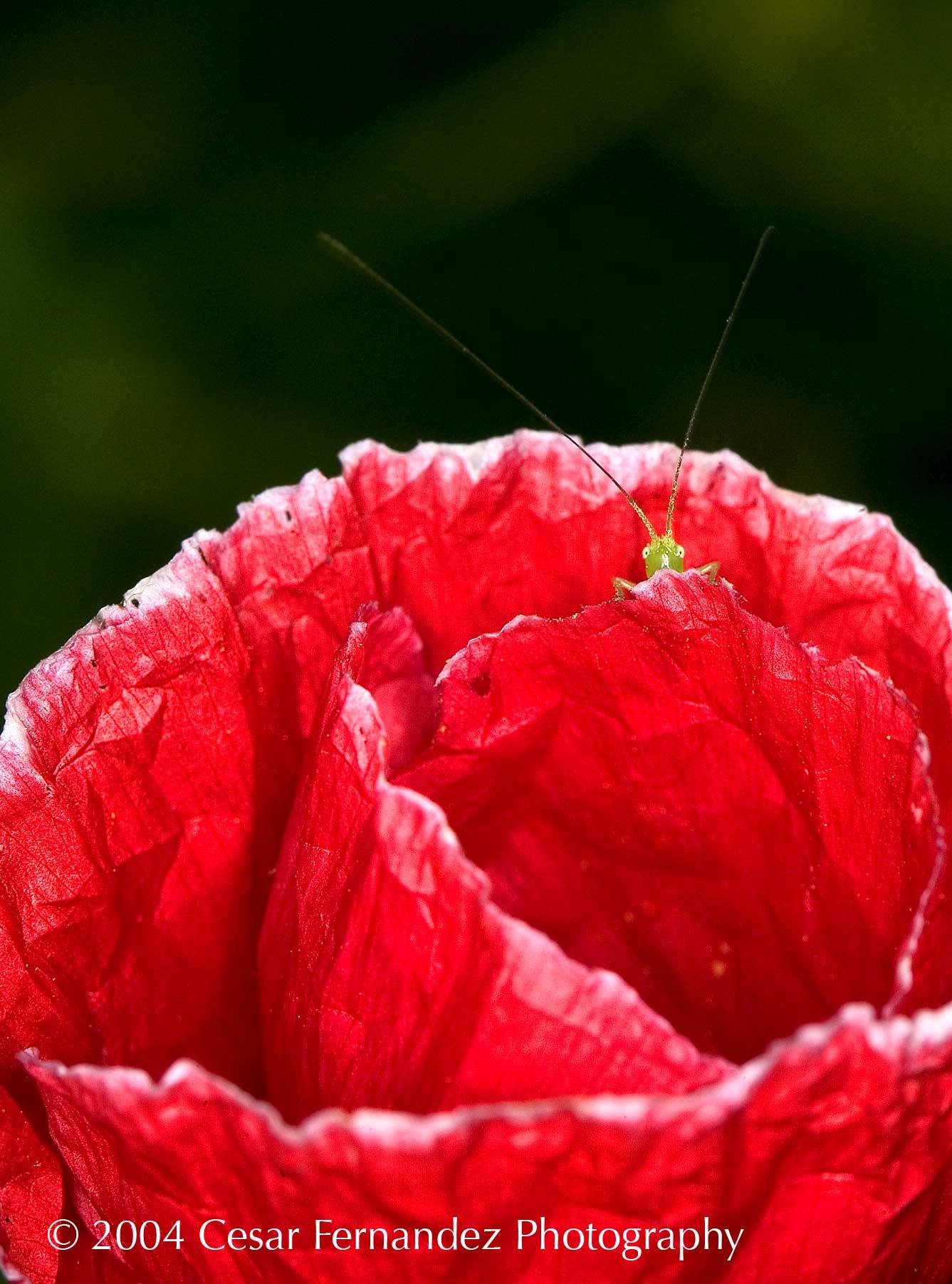 Baby Grasshoper playing hide and seek.jpg