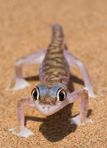 Palmato Gecko  (Eye-wiper)