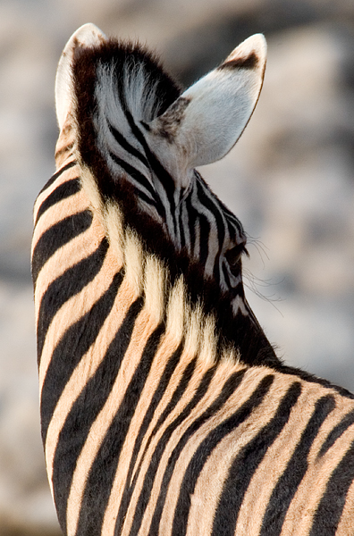 Zebras Detail