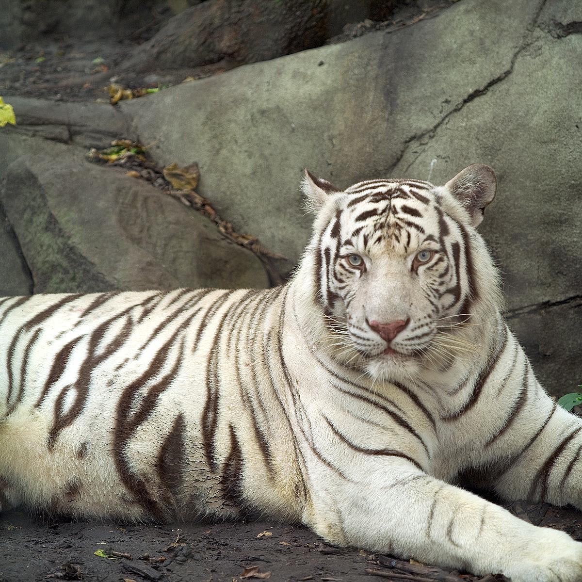 Tiger-Albino.jpg