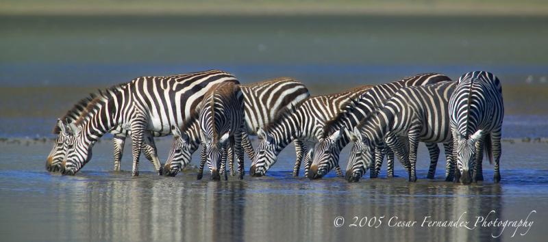 Common Zebras. Lake Megadi, Ngorongoro Crater