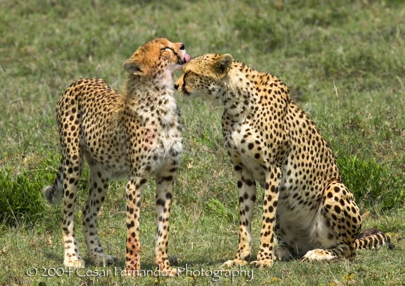 Cheeta cub grooming his mother after a meal. Acynonyx Jubatus.jpg