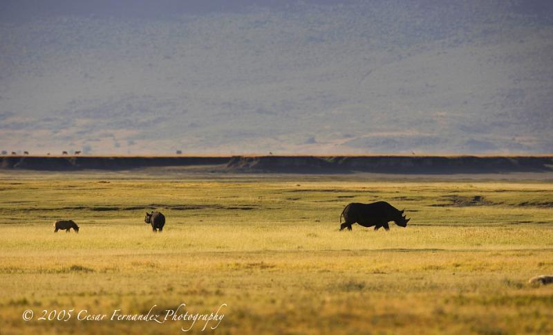 Spotted Hyena harrasing a Black Rhino calf