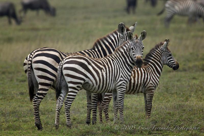 Zebra Family2-MF copy.jpg