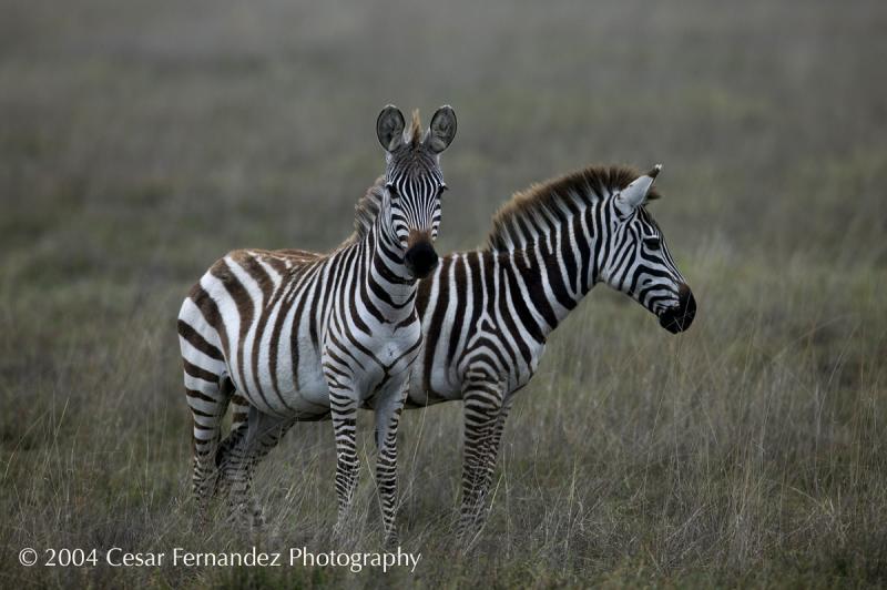 Zebra Two-heads copy.jpg