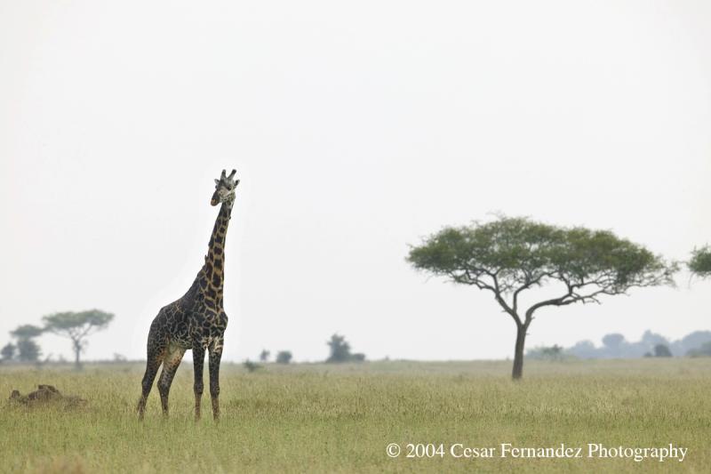 Giraffa Camelopardalis.jpg