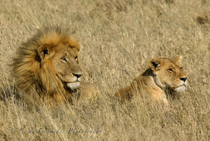 Mating lions.jpg