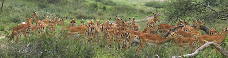 Impalas Panorama copy.jpg