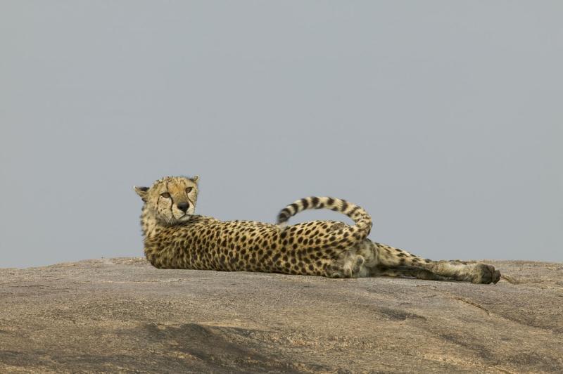 Guepardo (Cheeta) sobre Kpoje - Acinonyx jubatus v.