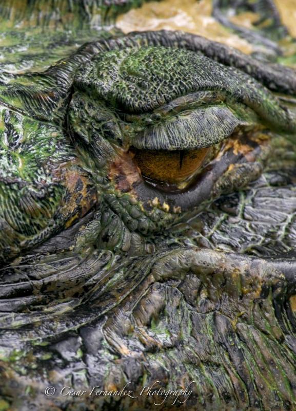 Amazonas-Crocodile-Detail.jpg