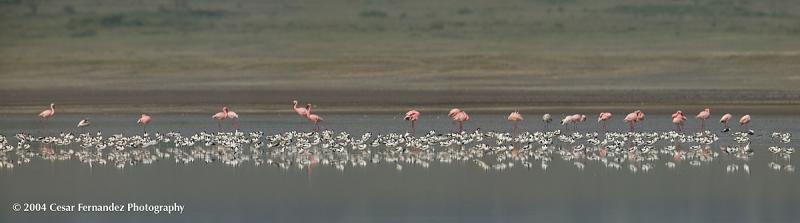 Lesser-Flamingos--Pied-Avo.jpg