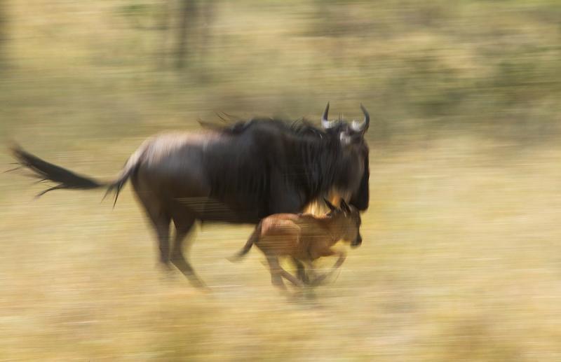Wildebeest and Calf (Connochaetes taurinus)
