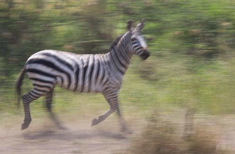 Zebra-Panning.jpg